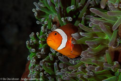 BD-140313-Padre-Burgos-1622-Amphiprion-ocellaris.-Cuvier.-1830-[Clown-anemonefish].jpg